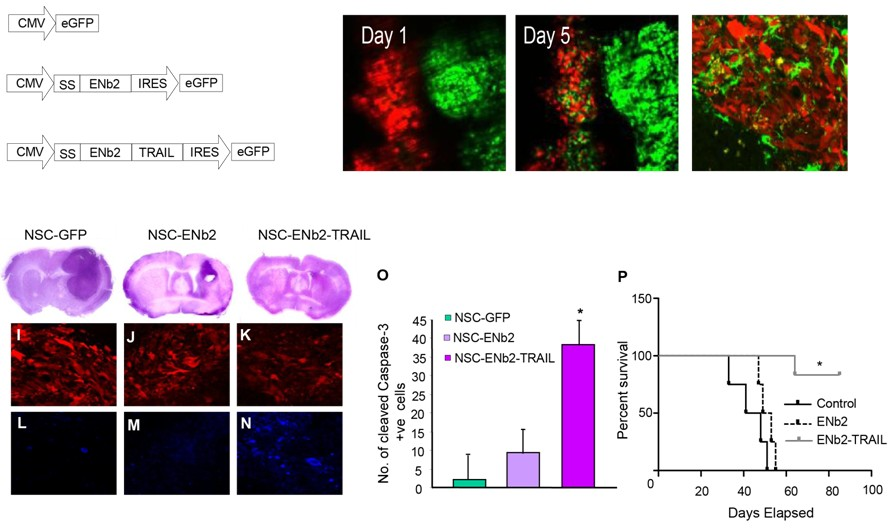 Stem cells for cancer treatment - Cell Biology Utrecht